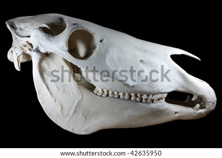 Horse skull isolated on black background