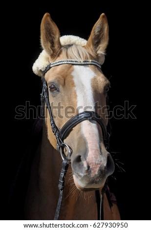 horse stands on a black background Zdjęcia stock ©