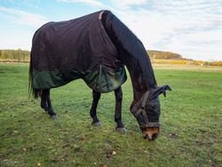 Horse with head mask grazzing in blanket coat to keep warm during cold morning. Large meadow with wire ranch fence and trees in background