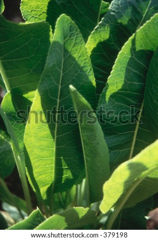 Horseradish leaves with terracotta plantpot as plant label [937080]
