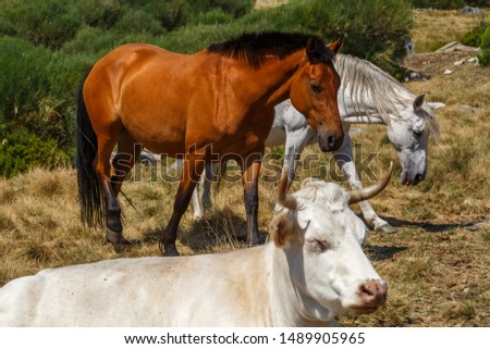 Horses and cow in mountain pastures. Cattle raising. #1489905965