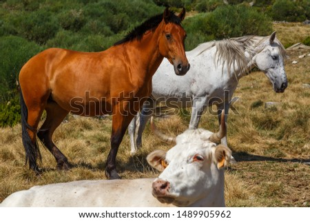 Horses and cow in mountain pastures. Natural Park Lake Sanabria and surroundings, Zamora, Spain. #1489905962