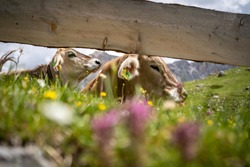 Horses and cows grazing on the mountain meadows in Val Gardena, South Tyrol