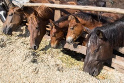 Horses eat a silage behind the wooden fence at sunny day. Black stallion, chestnut mares and two foals. Farm scene.