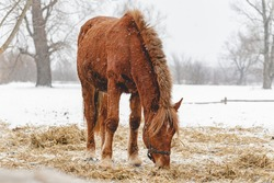 Horses eat hay, grass in winter in the paddock. Portrait of a white beautiful horses in winter. Snowy weather.