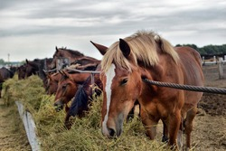 horses eating hay on the farm