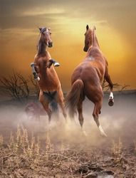 Horses fight at sunset