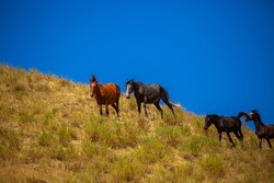 Horses gallop over mountains and hills. A herd of horses grazes in the autumn meadow. Livestock concept, with place for text.