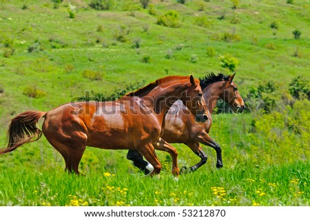 Horses galloping in the field