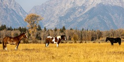 Horses graze in an open pasture near Grand Teton National Park in Wyoming.