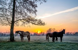 Horses graze in the early morning meadow. Horse pasture farm at dawn. Horses on pasture in early morning