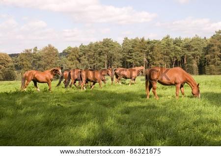 Horses graze in the pasture.