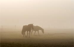 Horses grazing in mist field. Mist horses. Horses in mist
