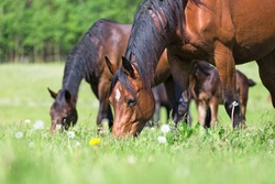 Horses grazing in summer pasture.