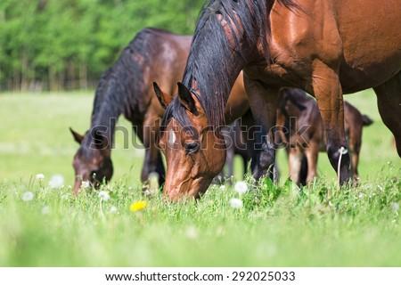 Horses grazing in summer pasture.