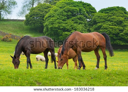 Horses grazing is green pasture.