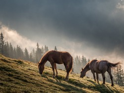 Horses grazing on a mountain in morning light with background mist. Wild landscape with horses in summer season into the mountains. Horse in nature, space for text