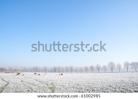 Horses grazing on a snow covered farmland with a blue sky