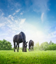 Horses grazing on fresh grass in summer or spring meadow on background of trees and sky