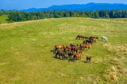 Horses grazing on pasture, aerial view of green landscape with a herd of brown horses and a single white horse, European horses on meadow
