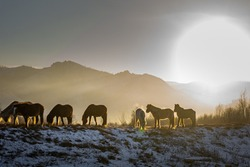 Horses grazing on the frozen snow covered steppe in mongolia