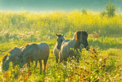 Horses in a bright field with colorful wild flowers at sunrise in a early summer morning with a blue sky, Almere, Flevoland, The Netherlands, August 6, 2020