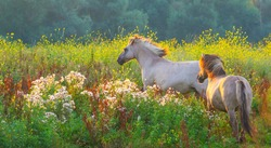 Horses in a bright field with colorful wild flowers at sunrise in a early summer morning with a blue sky, Almere, Flevoland, The Netherlands, August 11, 2020