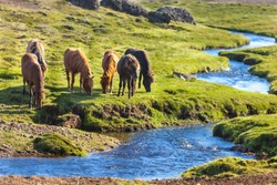 Horses in a green field of grass at Iceland Rural landscape. Horizontal shot
