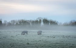 Horses in Frosted Foggy Meadow