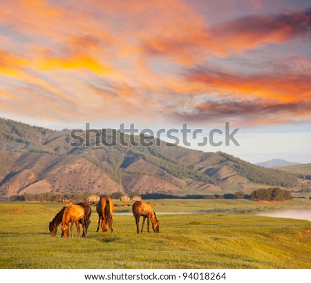 Horses in Mongolia