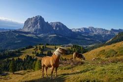 horses in Mount Hughes, Dolomites Italy