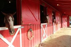 horses in stalls look at camera