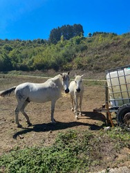 Horses in the eastern massif of the Picos de Europa near Colio village in the Europa Peaks, Cantabrian Mountains, northern Spain.