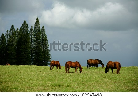 Horses in the meadow. Hawaii, Maui, USA