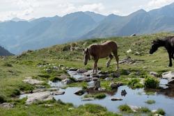 Horses in the Parc Natural de la Vall de Sorteny, Pyrenees, Andorra.