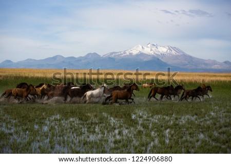 Horses Kayseri Turkey Stok fotoğraf ©