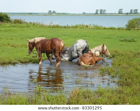 Horses lying and standing in the water of a pool on the nature island Tiengemeten in Zuid-Holland in the Netherlands