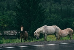 Horses near an asphalt road after a rain in the mountains. Altai Mountains. Green mountains. Fog. A herd of horses. Tourism and camping.