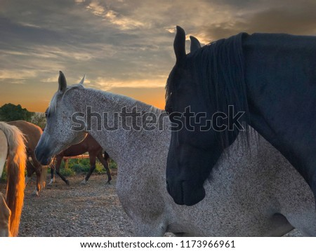 horses of different breeds together at sunset, Frisian, Arabic, haflinger