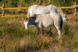 Horses of the Camargue in the Natural Park of the Marshes of Ampurdán, Girona, Catalonia, Spain.