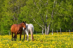 Horses on a meadow with blooming dandelions