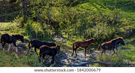 Horses passing water stream in Beskid Niski mountains area in Poland, Europe. Hucul horse breed. Zdjęcia stock ©