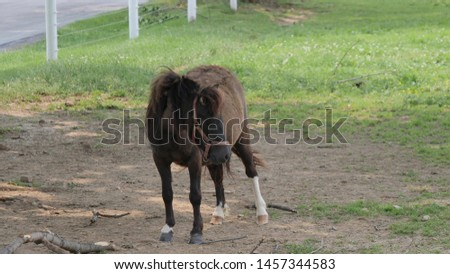 Horses, Ponies and Miniature Ponies playing and Grazing in the Amish Field #1457344583