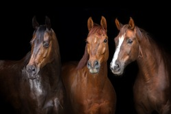 Horses portrait isolated on black background
