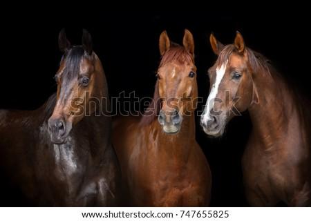 Horses portrait isolated on black background