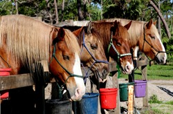 Horses Ready to Ride at Jonathan Dickinson State Park
