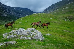 Horses running free in Bucegi Mountains, Romania. Summertime,