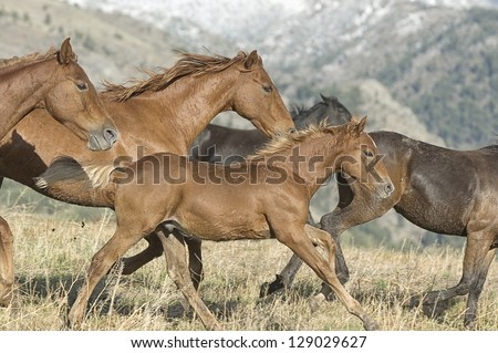 Horses stampeding to avoid roundup at Montana horse ranch - stock photo
