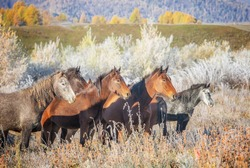 Horses stand in the grass with frost in autumn, Altai Mountains