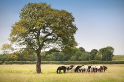 Horses taking shade under the shadow of a tree
